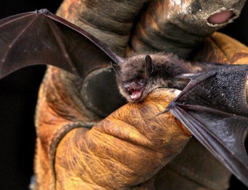 Hallan murciélago con rabia